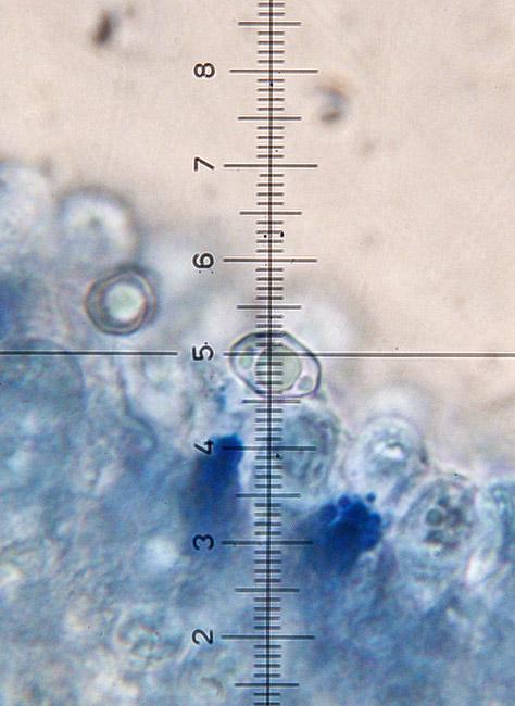 Entoloma-formosum-12.jpg