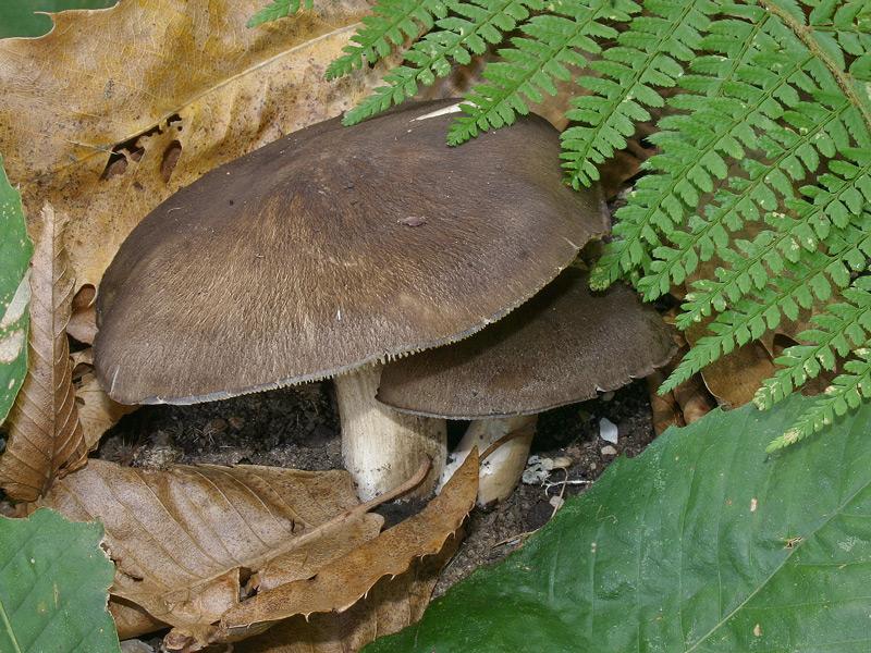 Megacollybia-platyphylla-003_1.jpg