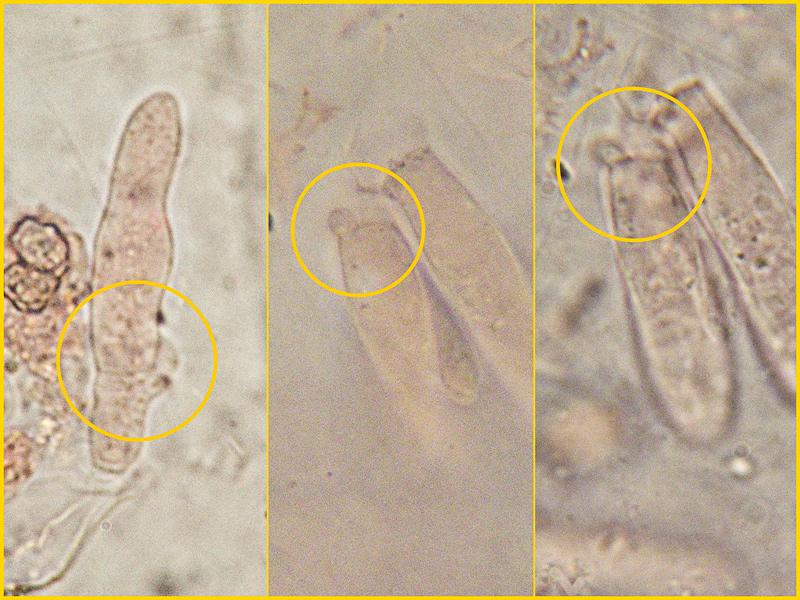 Entoloma-jubatum-75-6-80-GAF-1000x.jpg