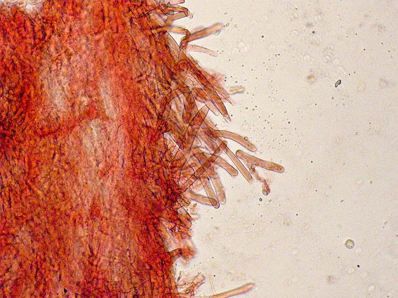 Entoloma-jubatum-83-Cuticola.jpg