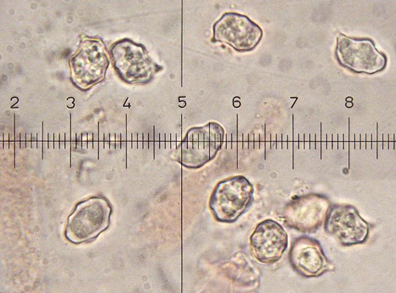 Entoloma-jubatum-b-21-3-5-7-8-9-Spore-1000x.jpg