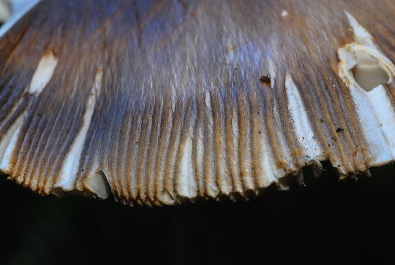 Amanita ochraceomaculata 09.jpg