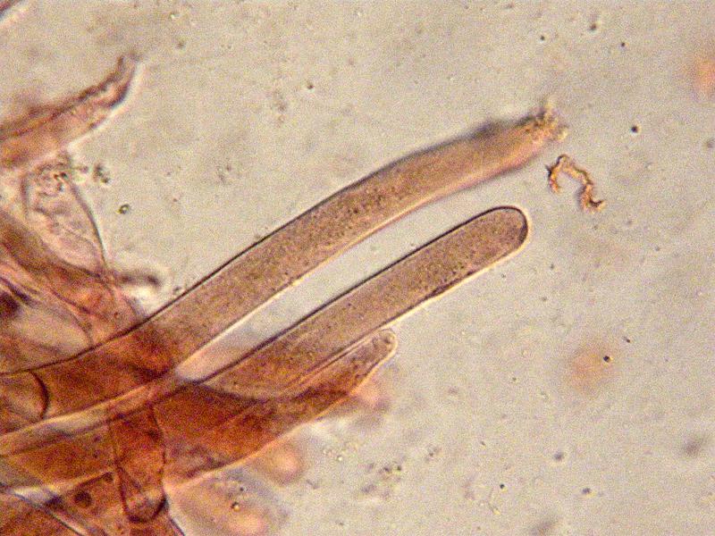 Entoloma-jubatum-85b-Cuticola.jpg