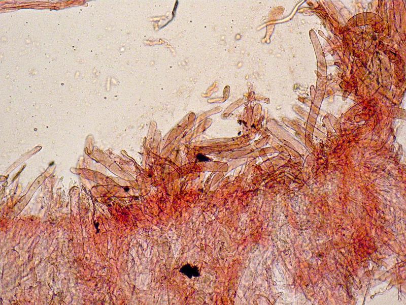 Entoloma-jubatum-84-Cuticola.jpg