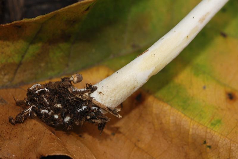 Leucocoprinus-cepistipes-08.jpg