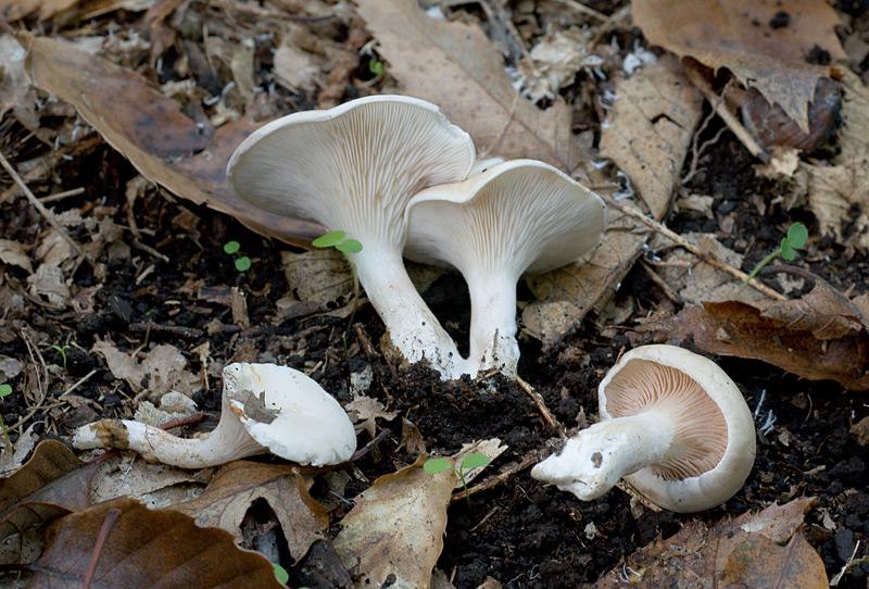 Clitopilus_prunulus_sl_01.jpg