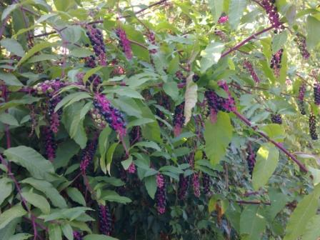 Fiori a grappoli violacei fiori idea immagine - La finestra viola ...