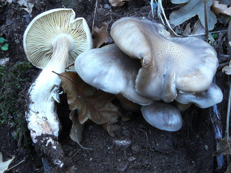 Tricholoma_saponaceum_20081103_Cocuz.jpg