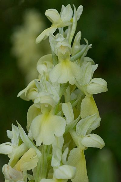 Orchis-pallens3.jpg