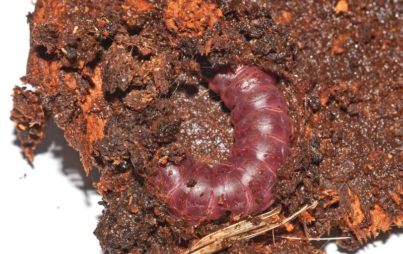 Larva-Cossus-cossus-02.jpg