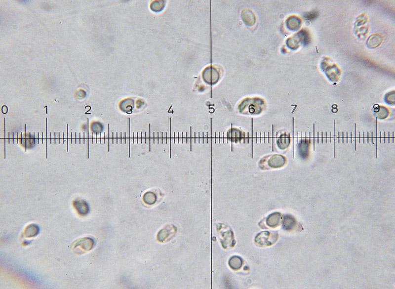 Mycena-pura-14-Spore.jpg