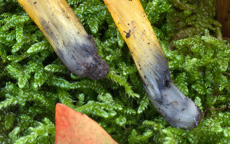 Hygrocybe-conica-v-conica-04-6d.jpg