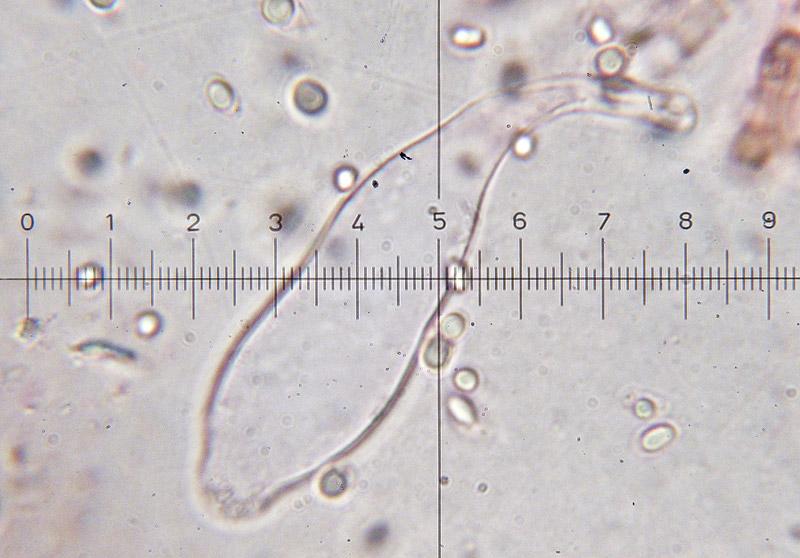 Mycena-pura-13-Cheilocistidi.jpg