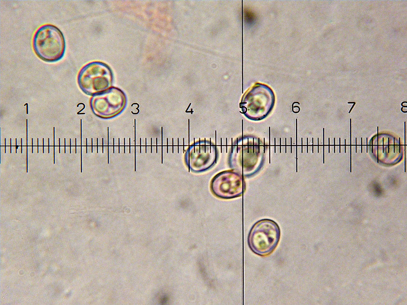 Pluteus-chrysophaeus-27-8.jpg