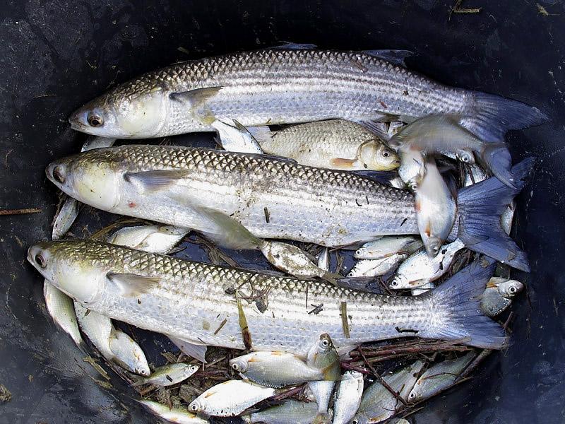 9-recupero-pesce-area-golenale del Po-gualtieri-CMG_0156.jpg