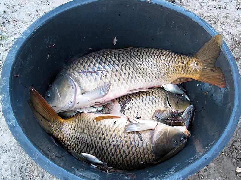 6-recupero-pesce-area-golenale del Po-gualtieri-CMG_0173.jpg