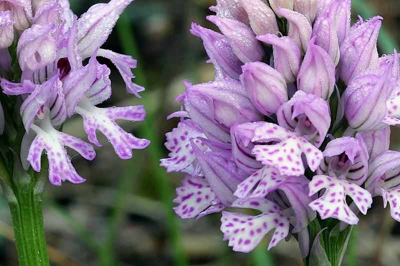 5-orchis-tridentata-XMG_8859.jpg