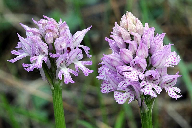 3-orchis-tridentata-XMG_8858.jpg