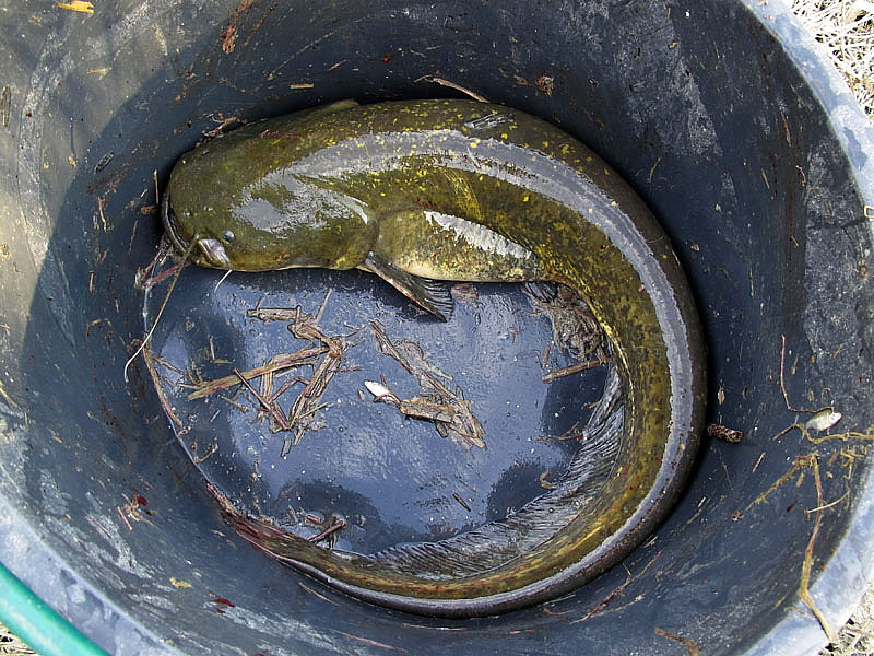 3-recupero-pesce-area-golenale del Po-gualtieri-CMG_0167.jpg