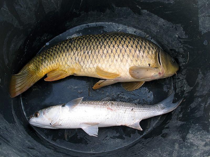 7-recupero-pesce-area-golenale del Po-gualtieri-CMG_0164.jpg