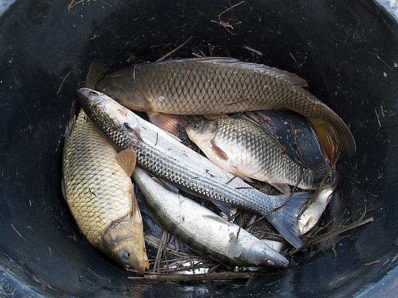 4-recupero-pesce-area-golenale del Po-gualtieri-CMG_0196.jpg