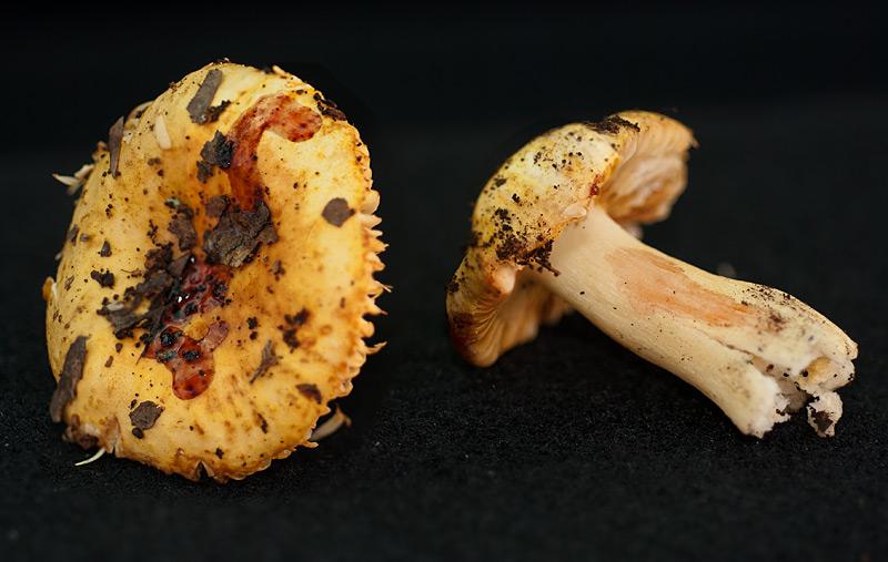 Russula messapica 11-2-3.jpg