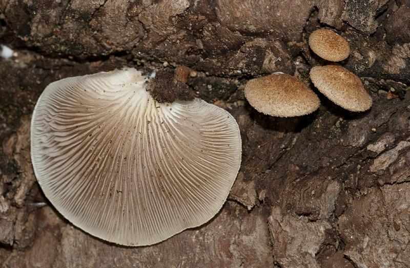 Crepidotus calolepis var squamulosus08.jpg