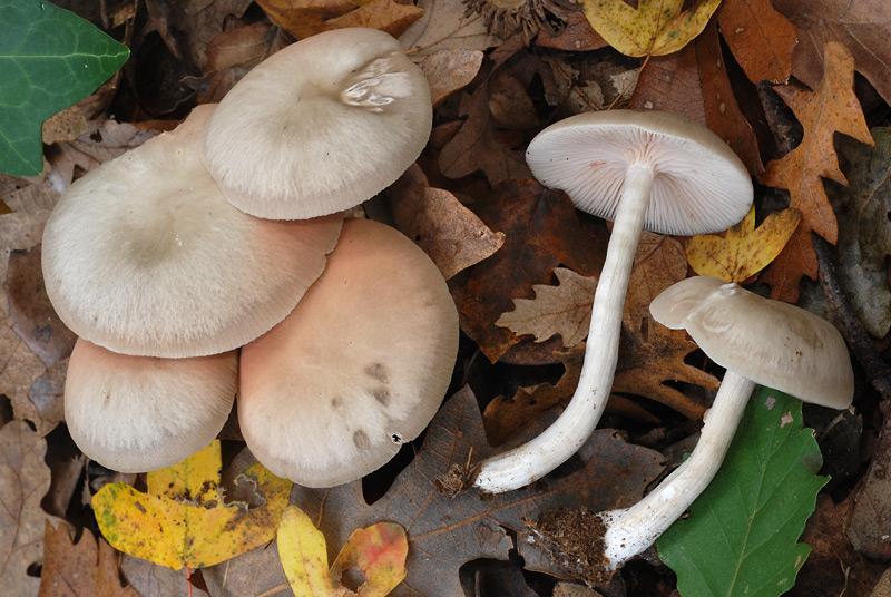Entoloma-rhodopolium-var-nidorosum-03.jpg
