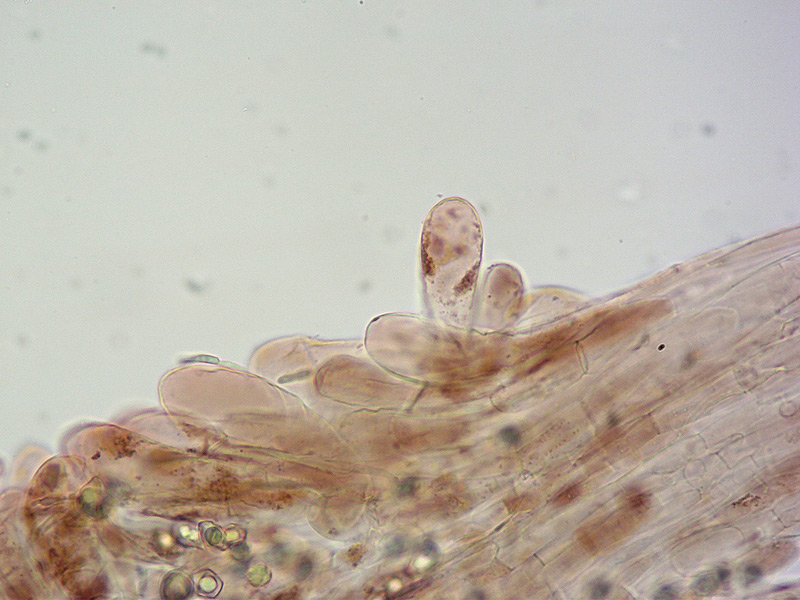 Entoloma-asprellum-24-Cuticola-400x.jpg