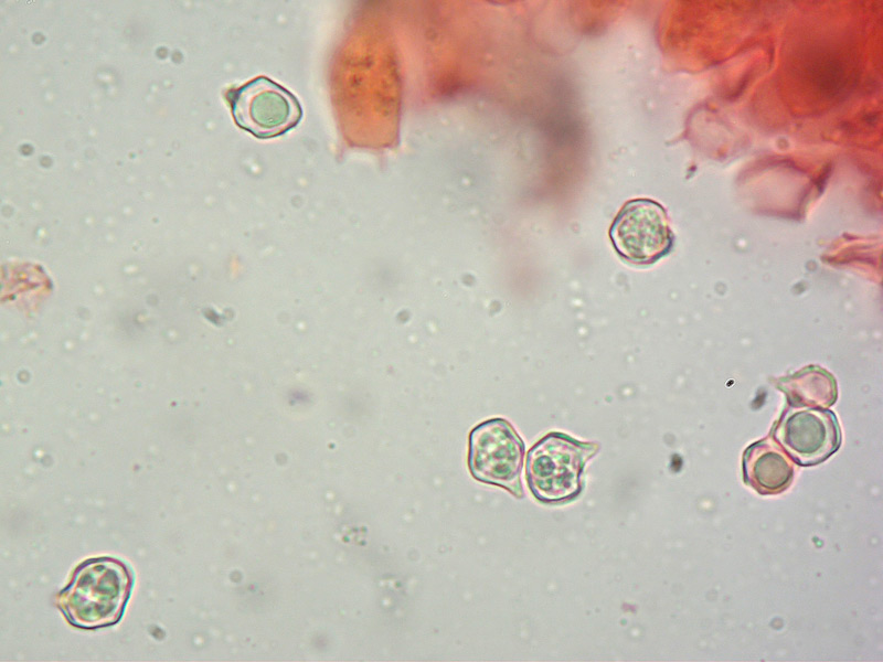 Entoloma-roseum-28-Spore-1000x.jpg