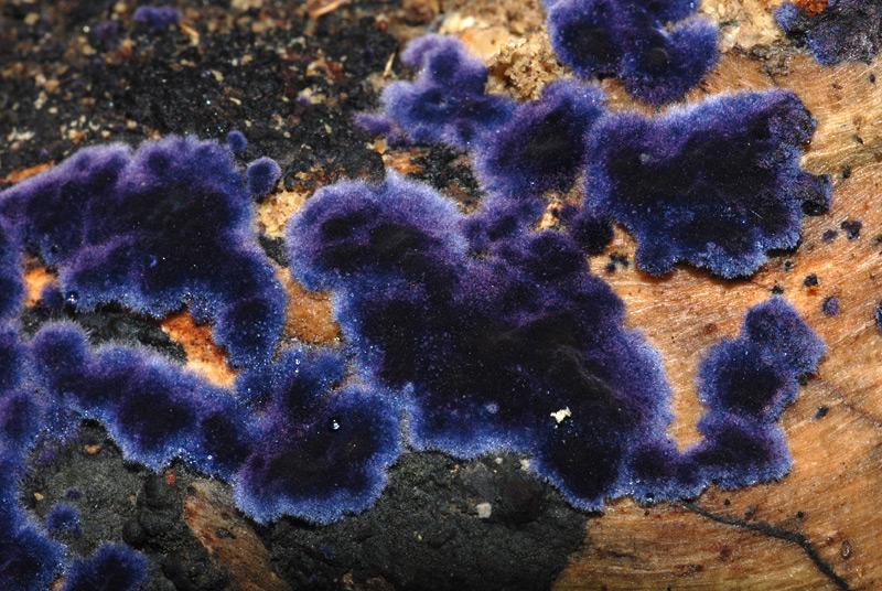 Pulcherricium-caeruleum-09.jpg