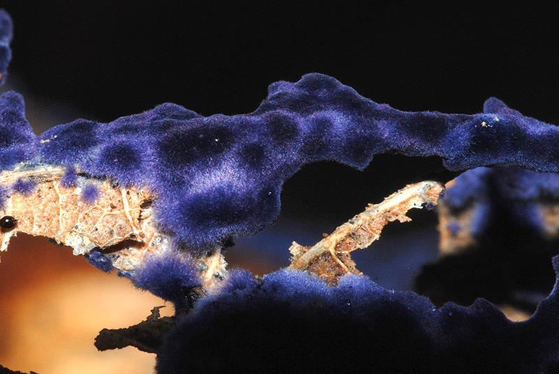 Pulcherricium-caeruleum-06.jpg