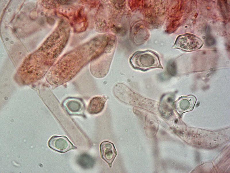 Entoloma-asprellum-30-Spore-1000x.jpg