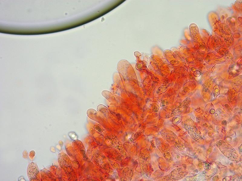 Entoloma-asprellum-16-Cheilo-400x.jpg