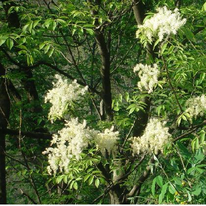 albero con fiori bianchi foto dei fiori e delle piante