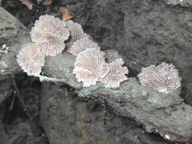 schizophyllum_comune_e.jpg
