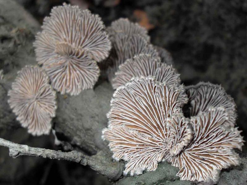 schizophyllum_comune_a.jpg