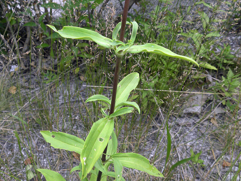 FUSTO-Saponaria officinalis