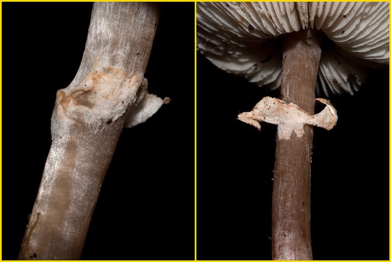Lepiota-cristata-09-10.jpg
