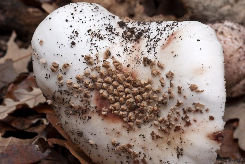 Amanita-rubescens-albina07.jpg