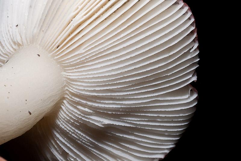 Russula-fragilis-04.jpg