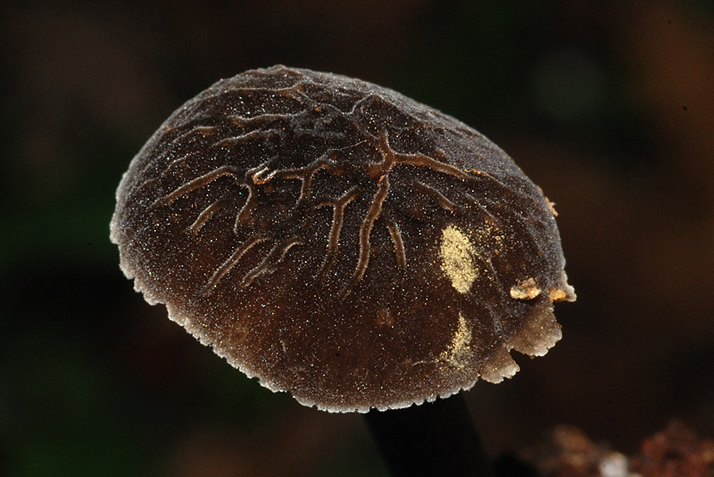 Pluteus-thomsonii-A-21-TL20151115-03.jpg