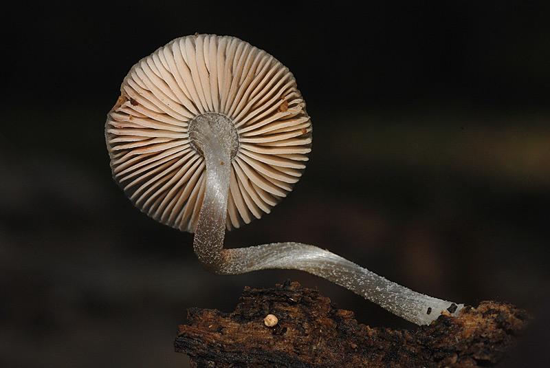 Pluteus-thomsonii-C-16-TL20151115-05.jpg
