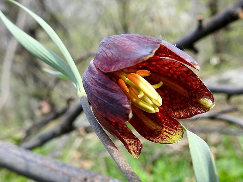 Fritillaria 025.JPG