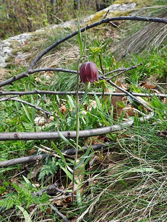 Fritillaria 026.JPG