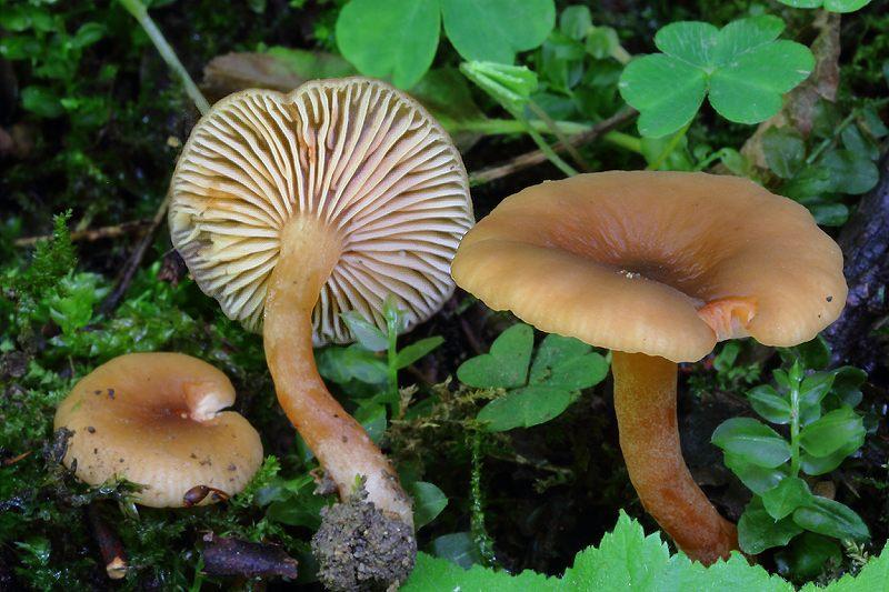 lactarius obscuratus 800 2.JPG