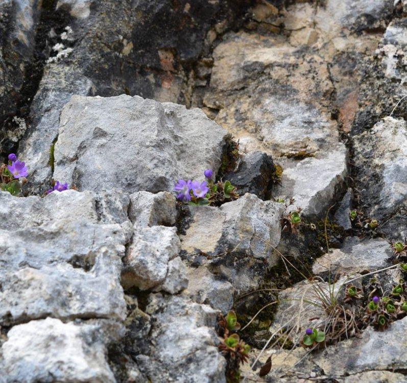 Primula tyrolensis Schott. (1).jpg