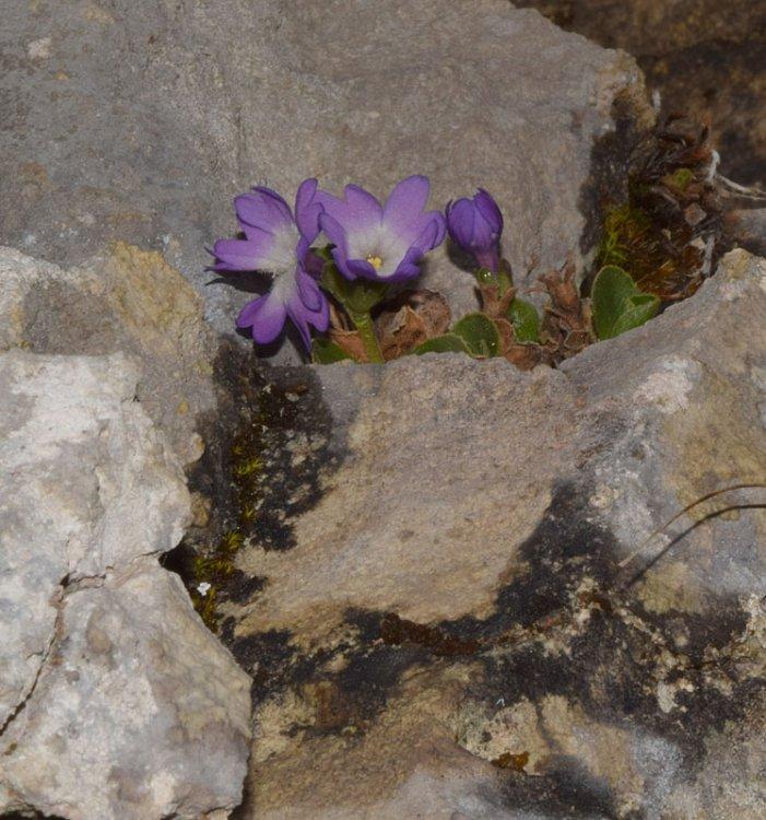 Primula tyrolensis Schott. (3).jpg