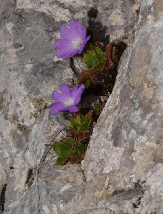 Primula tyrolensis Schott. (4).jpg