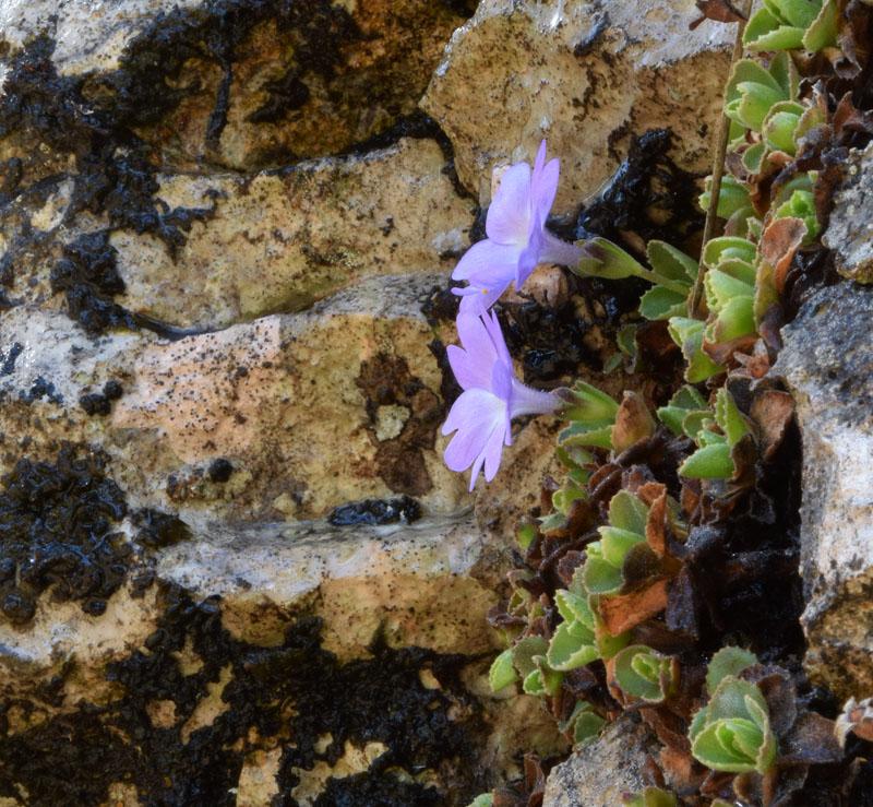 Primula tyrolensis Schott. (5).jpg